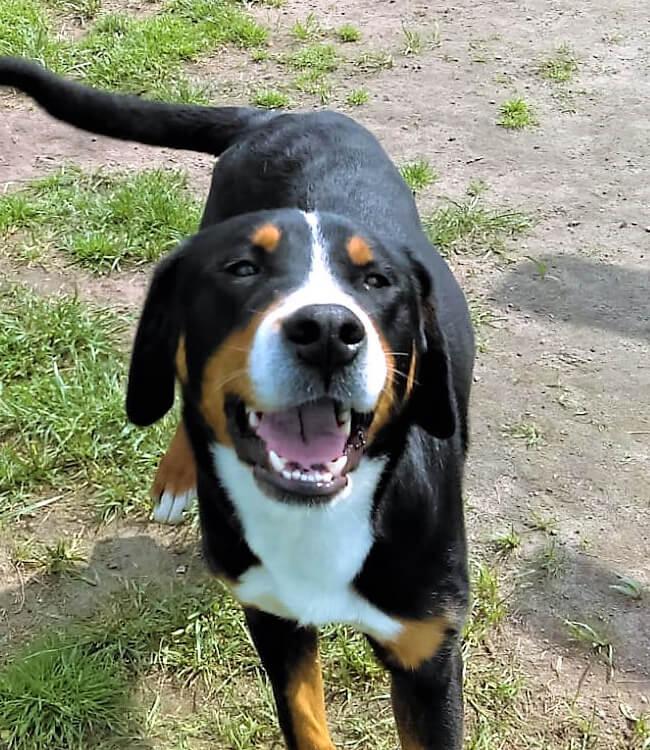 Mamy piękne szczenięta rasy Duży Szwajcarski Pies Pasterski!